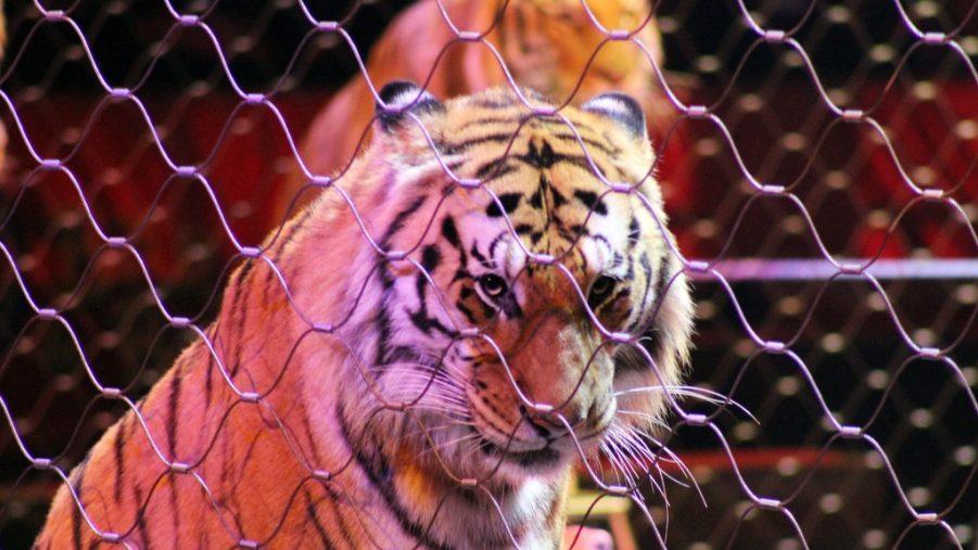 Нет циркам с дикими животными! В Латвии и Румынии вступает в силу закон о запрете использования животных в цирковых представлениях
