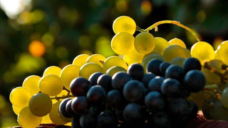 Урожай винограда в этом году будет больше, чем в предыдущем
