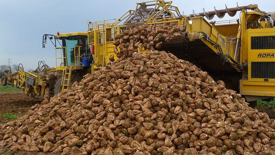 В Молдове урожайность сахарной свеклы под угрозой