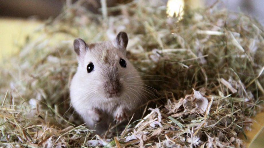 Не виноватая я. Ученые сняли с крыс вину за эпидемию чумы в средневековой Европе