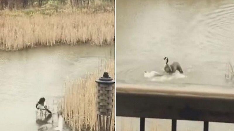(видео) Материнский инстинкт. Гусыня утопила атаковавшую её птенцов чайку