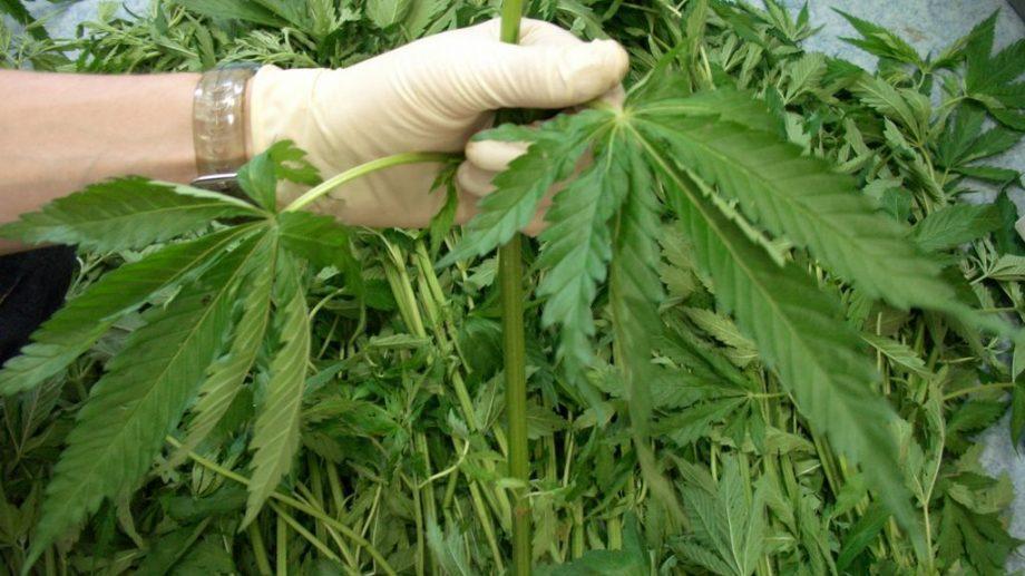 В России разрешат выращивать наркосодержащие растений в медицинских целях. Кто имеет право это делать