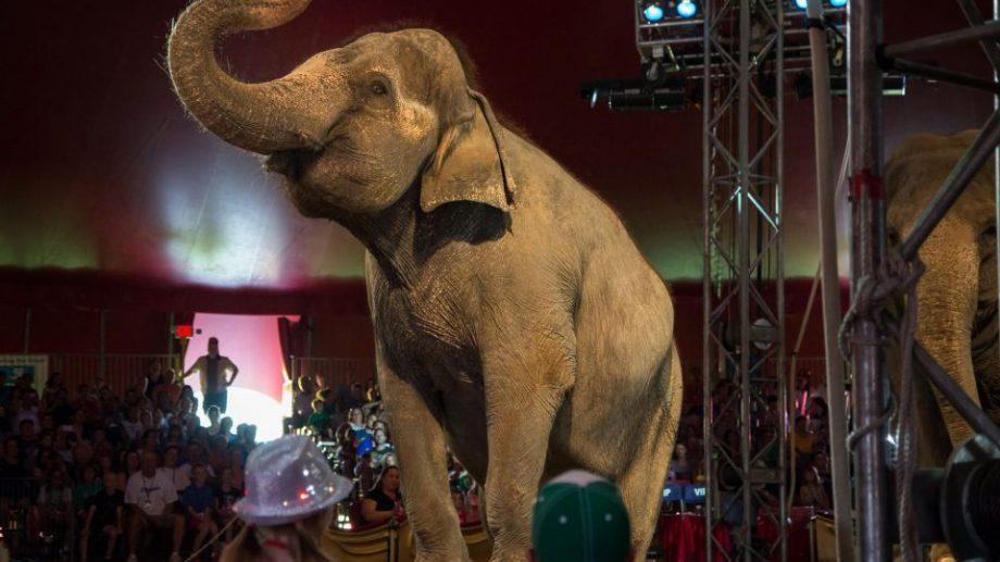 Правительство Дании забирает слонов-пенсионеров из цирка