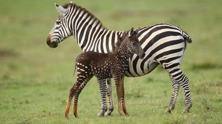 (фото) В Кении родилась зебра в горошек. На нее можно посмотреть в заповеднике Масаи-Мара