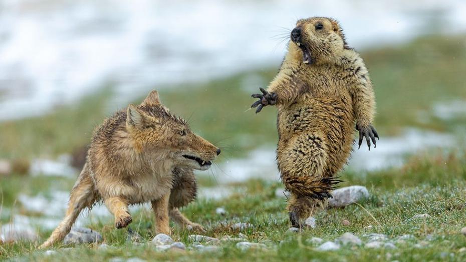 Лиса и сурок: лучшие фото дикой природы 2019 года
