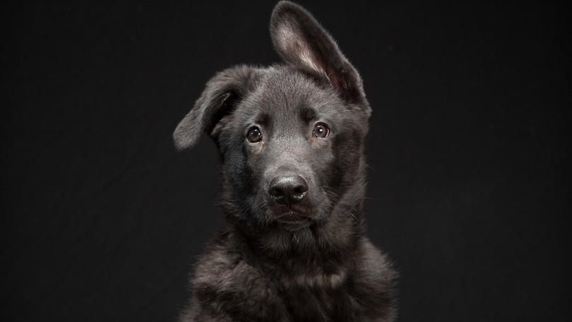 (фото) Дискриминация «Чернышей». Черные собаки менее популярны
