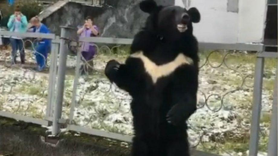 (видео) В Иркутской области медведя привязали к ограде поликлиники. Передвижной цирк решил, что плачущее животное — лучшая реклама