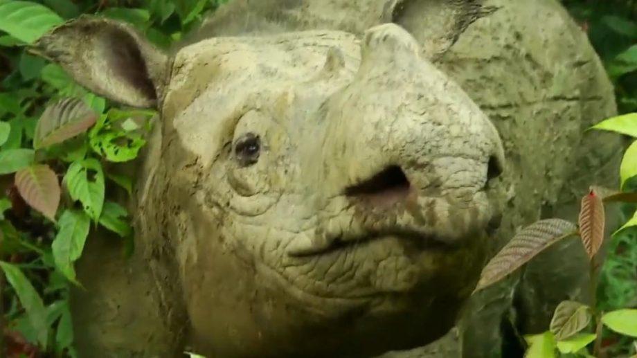 В Малайзии умерла последняя самка суматранского носорога. Этот вид признали исчезнувшим в стране
