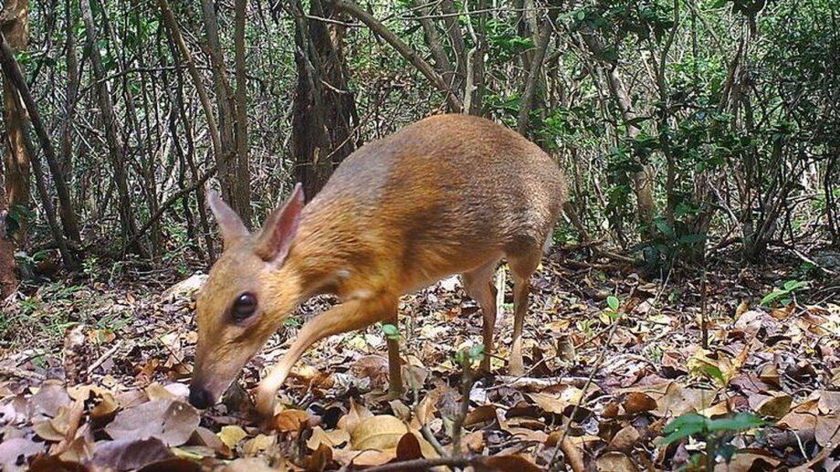 (видео) «Жук-олень, знакомься ― мышь-олень» Ученые нашли редких животных, похожих на мышей и оленей одновременно