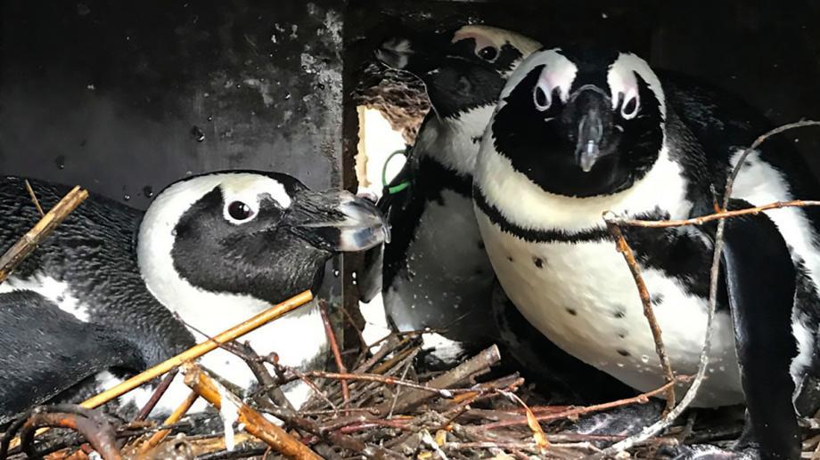 Ménage à trois. В немецком зоопарке пингвин-вдовец помогает паре пингвиних-лесбиянок высиживать яйца