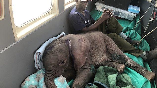 (фото) Встреча со львом в первый день жизни. В Зимбабве волонтеры спасли слонят от большого хищника