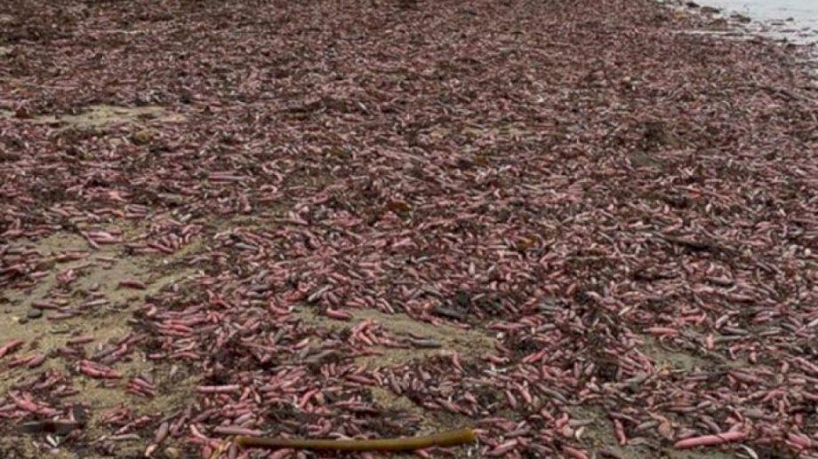 Пляж Калифорнии покрыли тысячи морских червей, которых в народе называют «рыбами-пенисами»