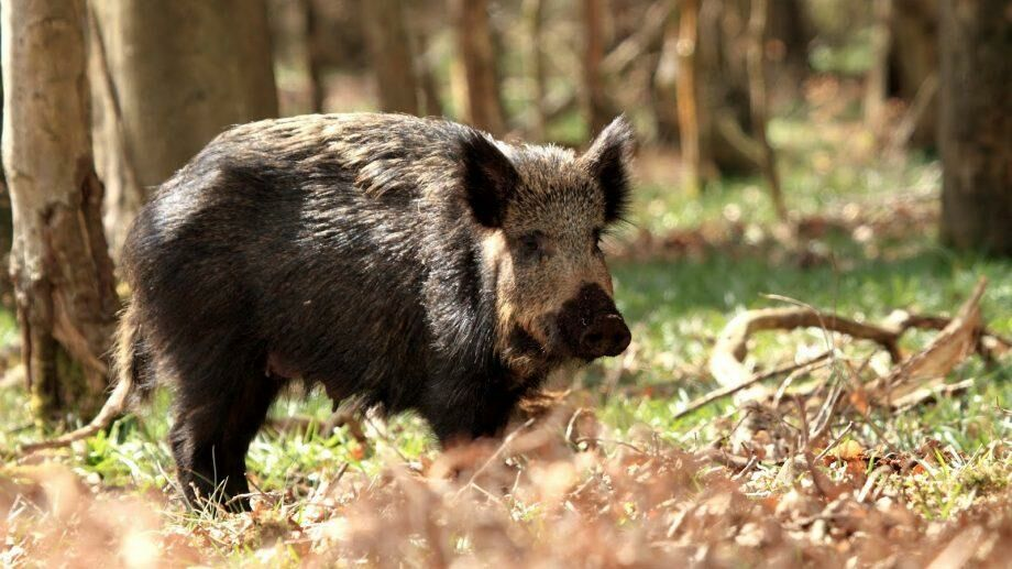 Обнаружено 35 мертвых кабанов. Новая вспышка африканской чумы свиней в Пэдуря Домняскэ