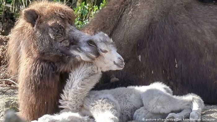 В Кельне на свет появилась двугорбая верблюдица со светлой шерстью