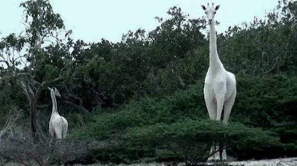 В Кении убили единственную в мире белую жирафиху и ее детеныша