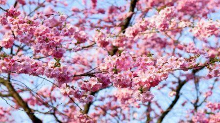 Завтра в парке Валя Морилор посадят 12 саженцев сакуры