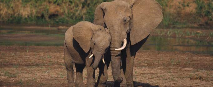 (видео) В Индии три часа слоны спасали слоненка, который попал в резервуар с водой. Им это удалось