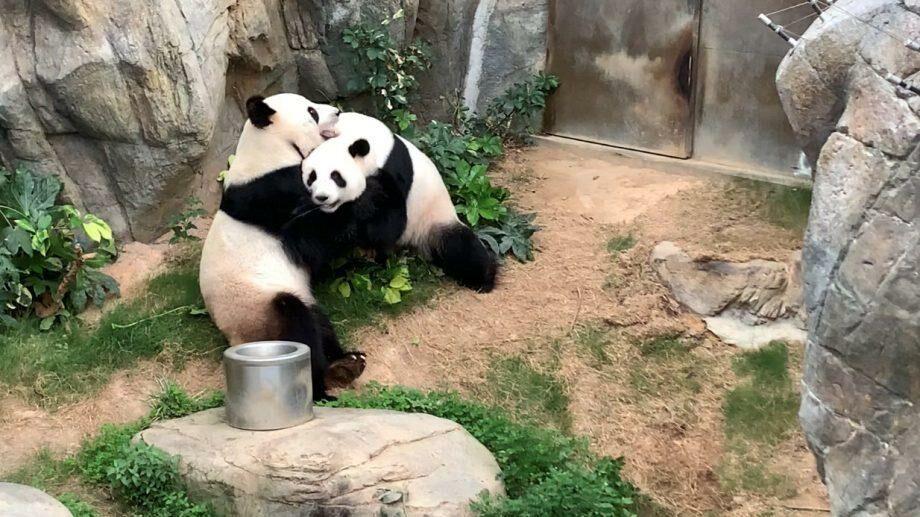 В зоопарке Гонконга панды спарились впервые за 10 лет совместной жизни