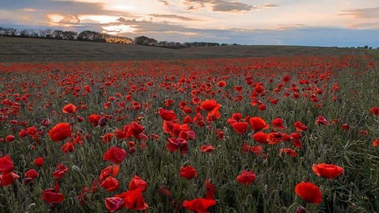 (фото) Устроить себе фотосессию: недалеко от Кишинева цветет маковое поле. Как туда добраться