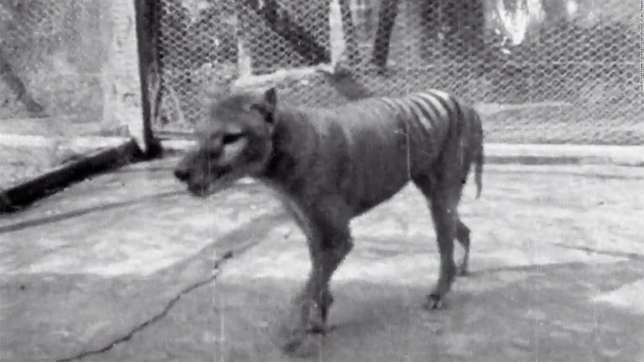 (видео) Опубликовано последнее видео с сумчатым волком. Эти животные вымерли больше 80 лет назад