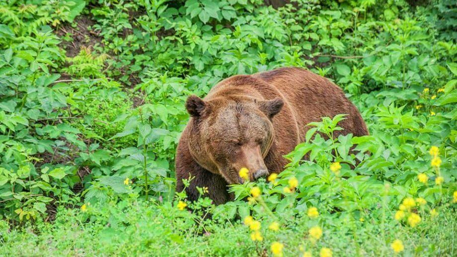 Пока мы сидели дома, бурый медведь из кишиневского зоопарка переехал в новый дом