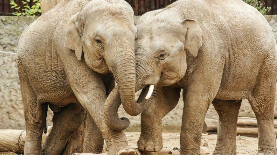 Мужчина в Индии завещал свою землю двум слонам. Каковы причины его решения