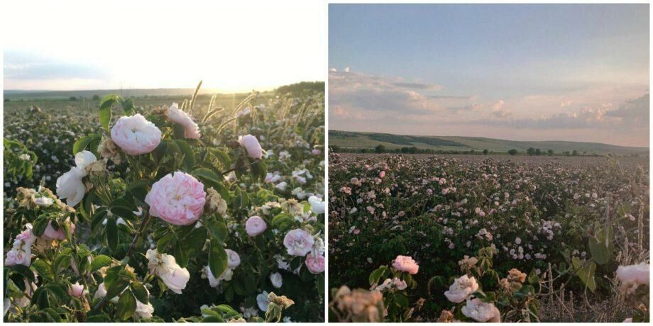 (фото) В 30 км от Кишинева цветет целое поле роз. Как туда добраться