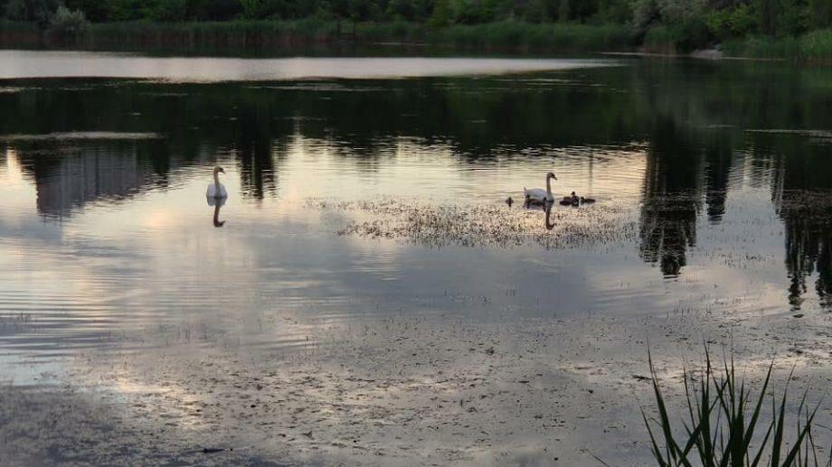 (фото) Почти лебединое озеро! На одном из столичных озер пара лебедей обзавелась потомством