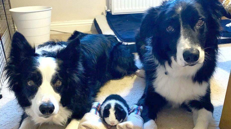 (фото) «Мы с тобой одной стаи». Черно-белая морская свинка подружилась с двумя бордер-колли с таким же окрасом